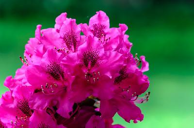 Fuchsia Rhododendron