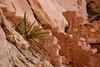 Broad-leaf Yucca
