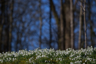 Snow Drops, Dorset