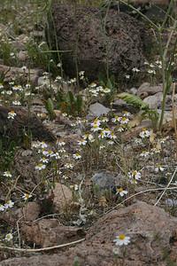 tidytips layia glandulosa