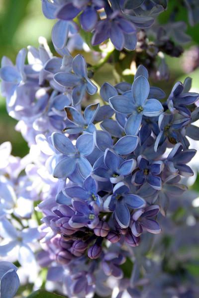 Blue Lilacs 2