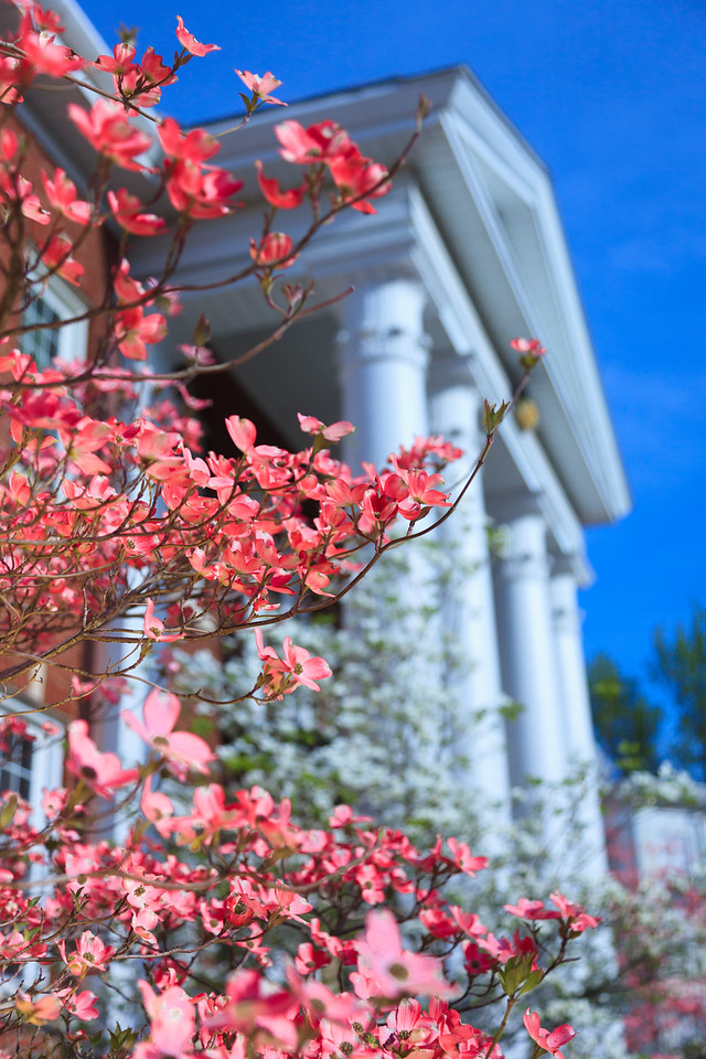 Pink dogwood and Corinthian Columns