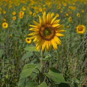 Sunflowers, Icklingham