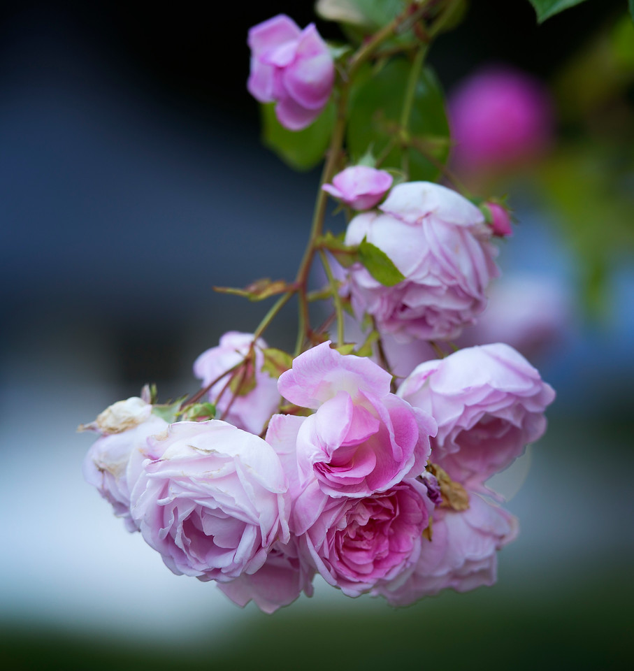 Norway Roses