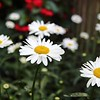 Day 201 - Daisy Chain