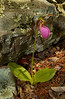 PinkLadySlippers-02