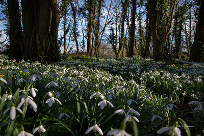 Snowdrops, Suffolk