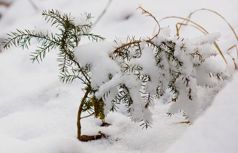 Snow-covered cedar tree