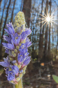 Pickerelweed flower