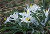 Mountain Starlily