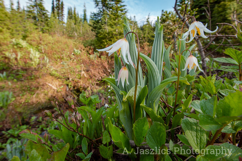 Nyctinasty in Avalanche Lily
