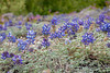 Pacific Lupine