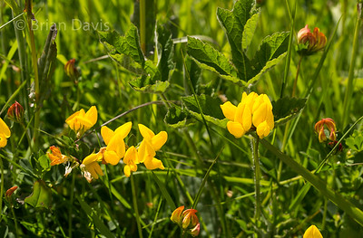 Common Birds-foot-Trefoil