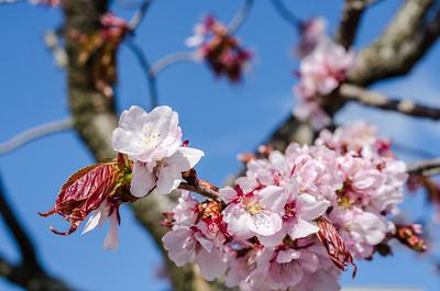 Cherry Blossoms XVI