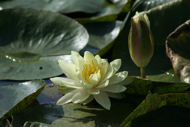 Water Lily 3