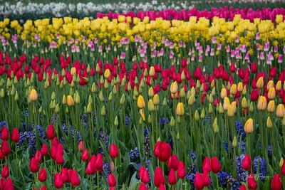Tulips, Holland