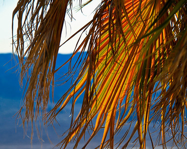 Colorful Frawn - Mexican Fan Palm