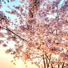 Cherry Blossom Explosion