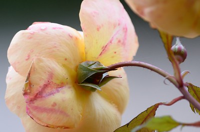 Pastel Rose Natural