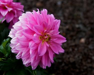 Pink Flower I
