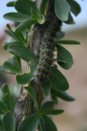 ocotillo caterpiller