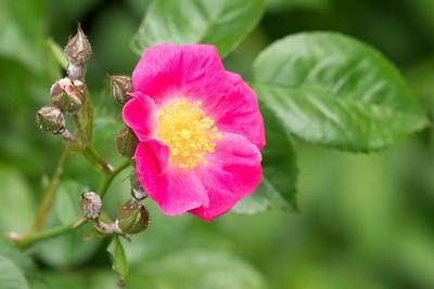 Speen Dog Rose