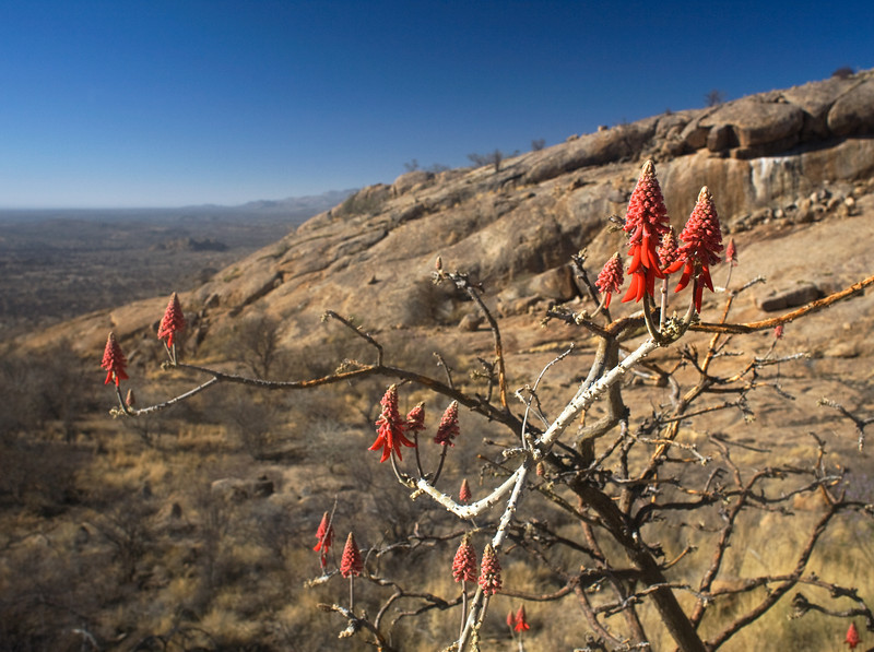 Erongo Wilderness, Namib Coral Tree