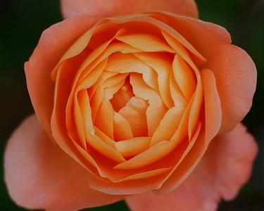 Rose 2b