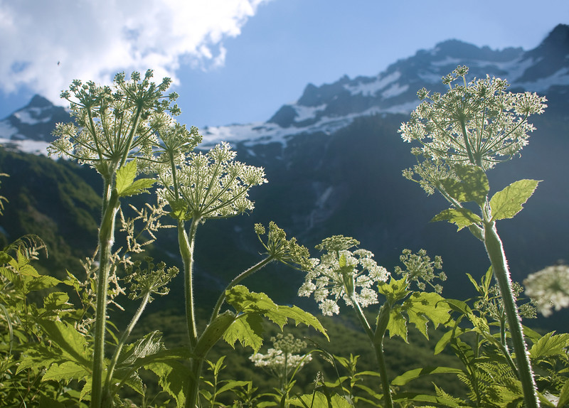 Cow Parsnip, Hannegan Pass Trail
