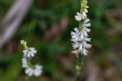 Species of spiral ladies' tresses orchid