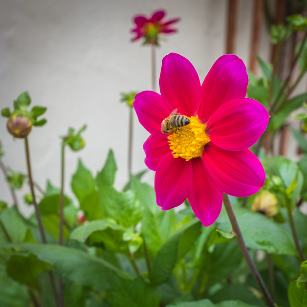 Dahlia and Bumble bee