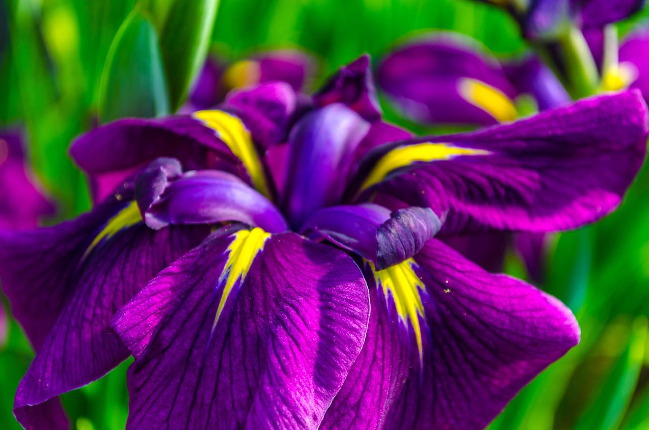 Iris, color macro