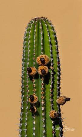 Organ Pipe Cactus, Gran Canaria