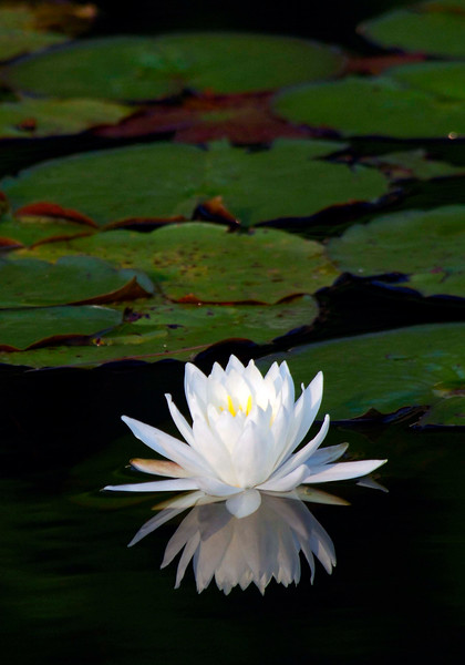 WaterLily-02