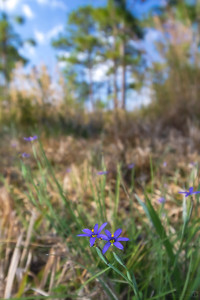 Narrow-leafed blue-eyed grass flower