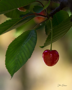 Cherry, Luberon