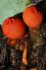 StalkedPuffball-in-aspic-03