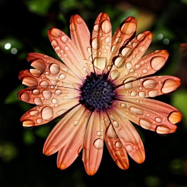 Orange Daisy with Raindrops