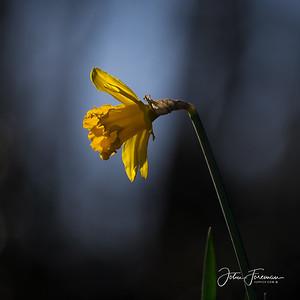 Daffodil, Dorset