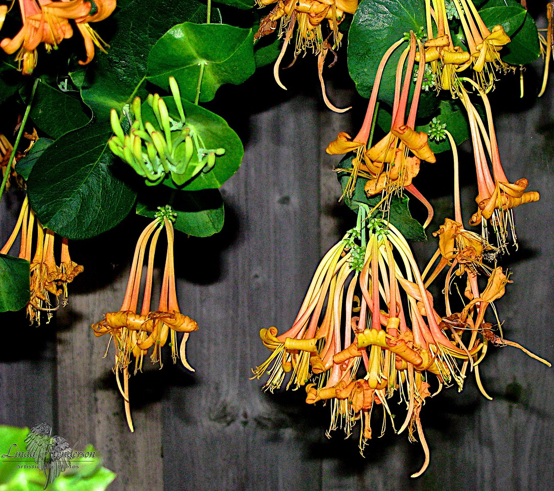 Hanging Orange Flowers