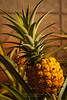 Though no longer cultivated commercially on Lanai, pineapples are still grown in home gardens.