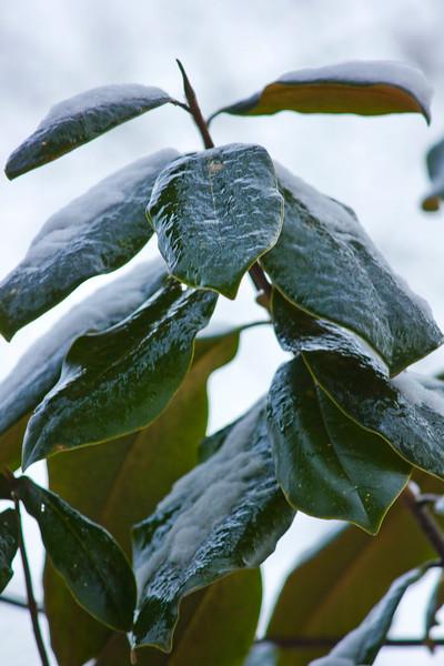 Ice-covered magnolia leaves
