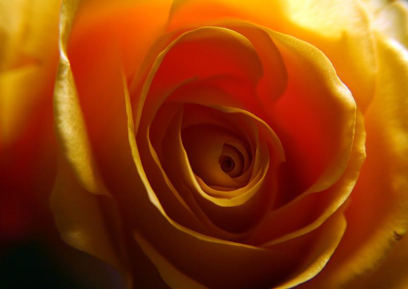 Yellow Macro Rose