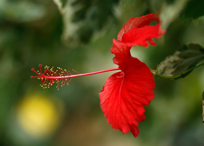 Red Hibiscus in the Glass House, RHS Wisley