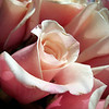 Pink and Cream Roses 2