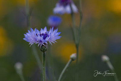 Blue Cornflower, Dorset