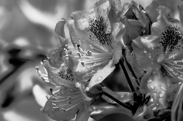 Wet Rhododendron blossoms, mono