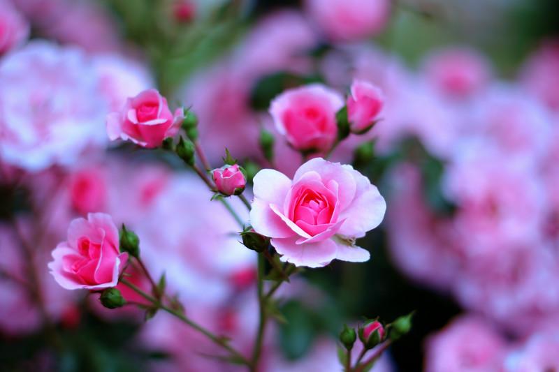 Rose Garten