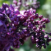 Purple Lilacs 4
