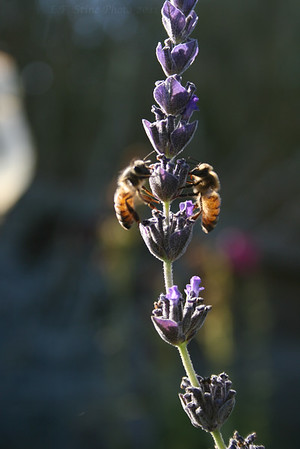 Late fall honey bees on lavender in the garden at the Stine Ranch.